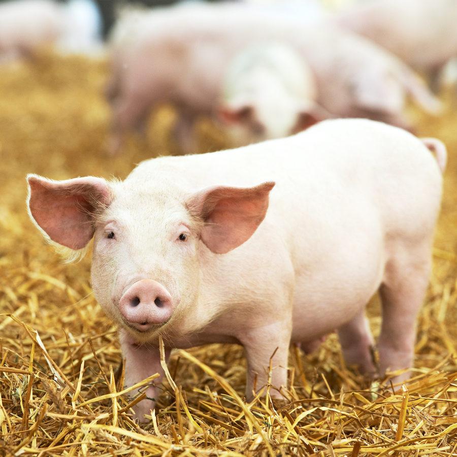 Tierhaltung in der Landwirtschaft